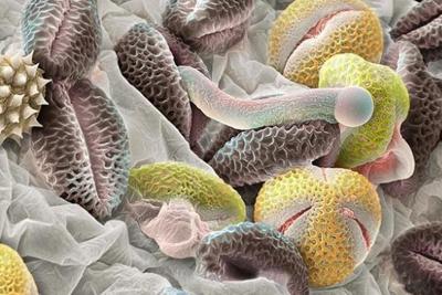 Hình ảnh phấn hoa dưới ống kính hiển vi